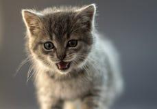 Fin grise mignonne de chaton vers le haut de photo avec émotion photos stock