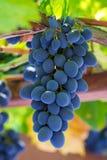 Fin grupp av nya blåa druvor Arkivfoto