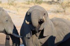 Fin haute et portrait d'un jeune éléphant africain buvant du point d'eau Safari de faune en parc national de Chobe, voyage DEST Image libre de droits