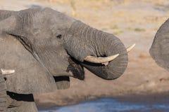 Fin haute et portrait d'un jeune éléphant africain buvant du point d'eau Safari de faune en parc national de Chobe, voyage DEST Photo libre de droits