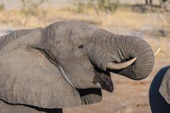 Fin haute et portrait d'un jeune éléphant africain buvant du point d'eau Safari de faune en parc national de Chobe, voyage DEST Photographie stock libre de droits