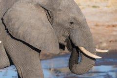 Fin haute et portrait d'un jeune éléphant africain buvant du point d'eau Safari de faune en parc national de Chobe, voyage DEST Images stock
