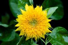 Fin humide de tournesol de nain jaune  photographie stock