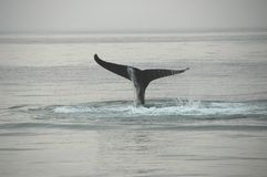 Fin of a humpback whale Royalty Free Stock Photo