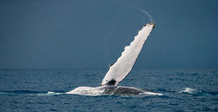 The fin humpback whale. Madagascar. St. Mary`s Island. Royalty Free Stock Photography