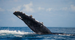 The fin humpback whale. Madagascar. St. Mary`s Island. Stock Image