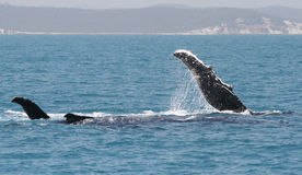 Fin Humpbackwhales Royalty Free Stock Photography
