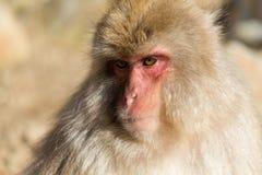 Fin japonaise de singe  Image stock