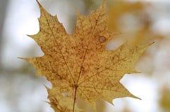 Fin jaune de feuille d'érable  Photo libre de droits