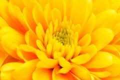 Fin jaune de fleur  Image libre de droits