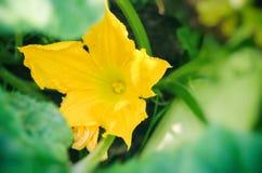 Fin jaune de fleur de potiron sur un fond des feuilles vertes image libre de droits