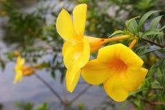 Fin jaune de fleur vers le haut de et réflexion de l'eau image libre de droits