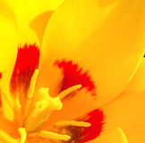 Fin jaune de tulipe  Image stock