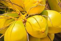 Fin jaune du soleil de paume d'arbre de Cocos de noix de coco  image stock