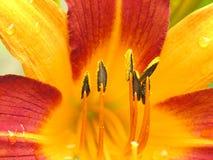 Fin jaune et rouge de fleur vers le haut photographie stock libre de droits