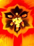 Fin jaune et rouge intérieure de tulipe  photographie stock