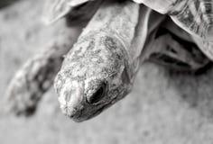 Fin latérale de profil de la tortue d'étoile noire et blanche Photos stock