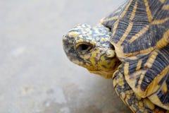 Fin latérale de profil de tortue d'étoile Images stock