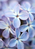 Fin lilas de fleur  Photo stock
