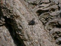 Fin/macro mouche/insecte de bleuet sur l'écorce d'un arbre de marron d'Inde images libres de droits