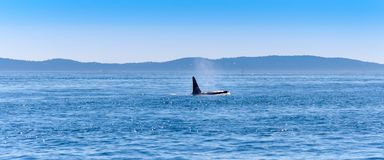 The fin of a male Orca whale near Vancouver Island. On a sunny day royalty free stock image