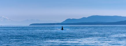The fin of a male Orca whale near Vancouver Island. Mountains visible in the background stock photos