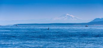 The fin of a male Orca whale near Vancouver Island. M. T Baker is visible in the background royalty free stock images