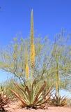 Agave de floraison de l'Utah Photos libres de droits