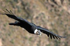 Fin masculine de vol de condor andin Images libres de droits