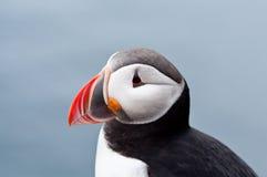 Fin mignonne d'oiseau de macareux vers le haut de verticale Photo libre de droits