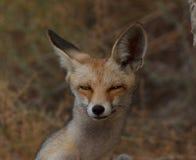 Fin mignonne de renard rouge vers le haut de portrait photographie stock libre de droits