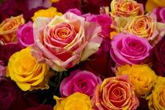Fin multicolore de rose?  Images libres de droits