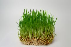 Fin naturelle de blé de germe de forme physique d'alimentation saine verte de régime  photographie stock libre de droits