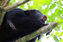 Fin noire d'hurlement de singe d'hurleur  Images libres de droits