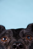 Fin noire de chien terrier vers le haut Image stock