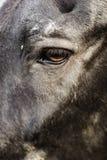 Fin noire de détail d'oeil de cheval  image libre de droits
