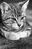 Fin noire et blanche vers le haut de visage de chatons Image stock