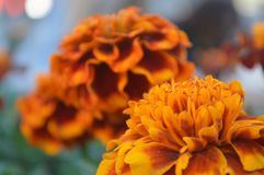 Fin orange de fleur vers le haut Images stock