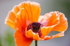 Fin orange de papaver somniferum de fleur de pavot  Jour ensoleillé et concept de nature Photos libres de droits