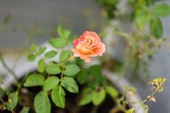 Fin orange de rose de rose vers le haut de vue avec la feuille verte Image libre de droits