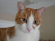 Fin orange et blanche de chat  photographie stock libre de droits