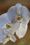 fin orchidwhite Arkivfoto