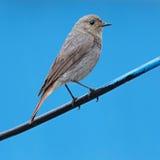 Fin photographiée par oiseau sauvage adulte ruticilla Photos libres de droits
