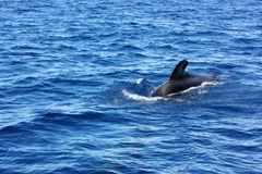 Fin of pilot whale in the ocean. Pilot whale species in the wild, emerging from the water, its fin visible on the surface, blue water on a clear sky day stock images