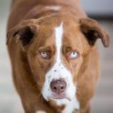 Fin, portrait, grand, rouge, chien image libre de droits