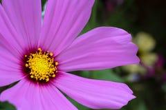 "Fin pourpre de bipinnatus de cosmos de  de Cosmos†d'""Wild de fleur sauvage fleurissant pendant le ressort Photos stock"