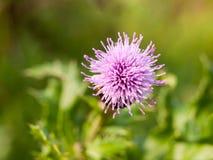 Fin pourpre de chardon de lait de tête simple de bourgeon floral  Image stock