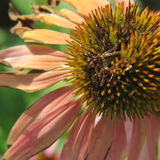 Fin pourpre de effacement de fleur de cône  Photo libre de droits