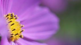 Fin pourpre de fleur de cône  Photos stock