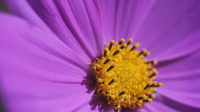 Fin pourpre de fleur de cône  Photographie stock